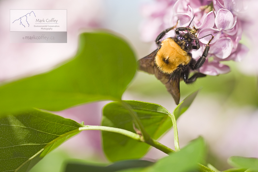 honey bee on lilac bush