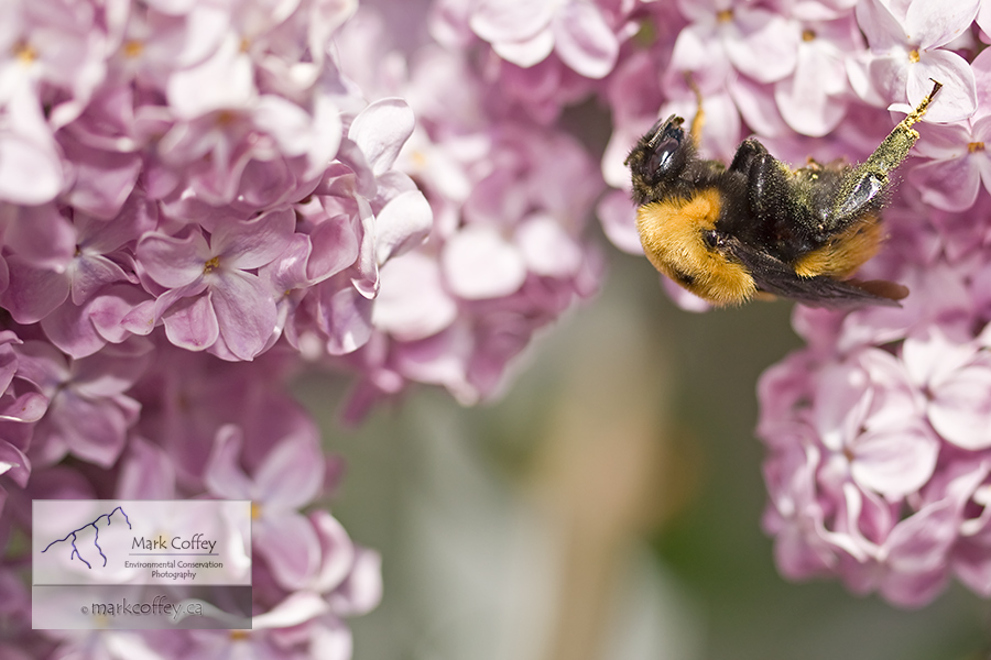 honey bee on lilac